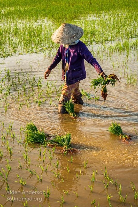Sau, Planting Rice in Hoi An, Vietnam