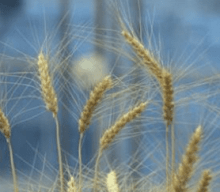 Farmers fund new research to breed gluten-free wheat