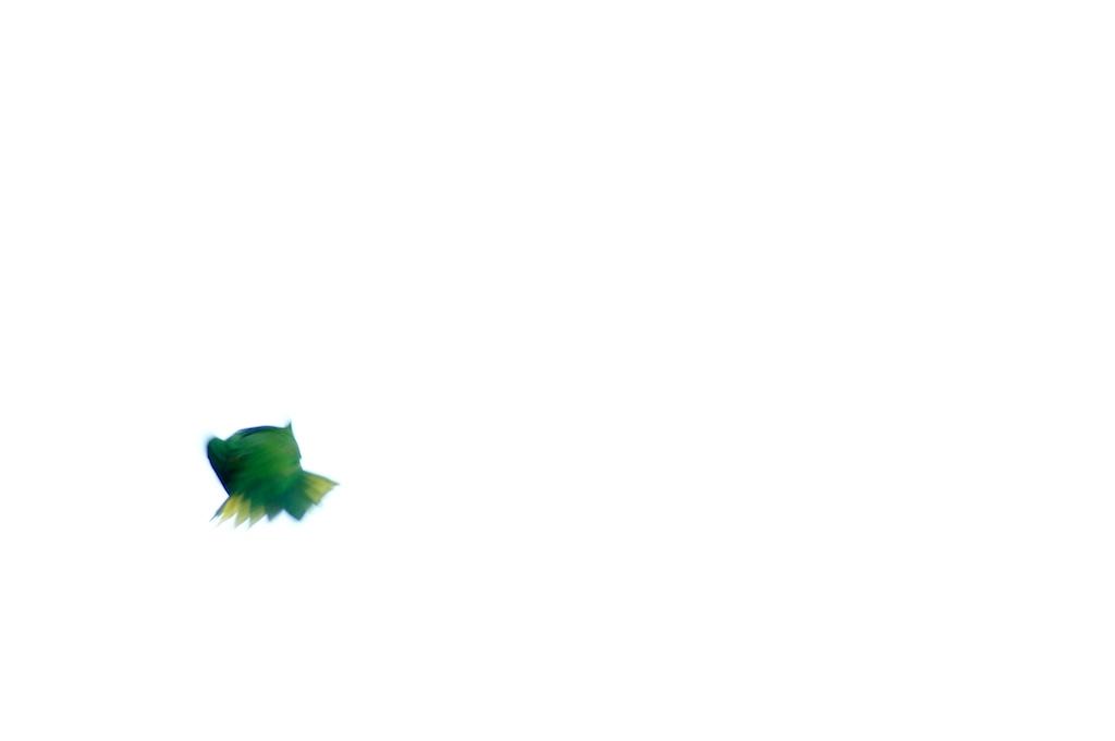 009: Flying Lorikeet