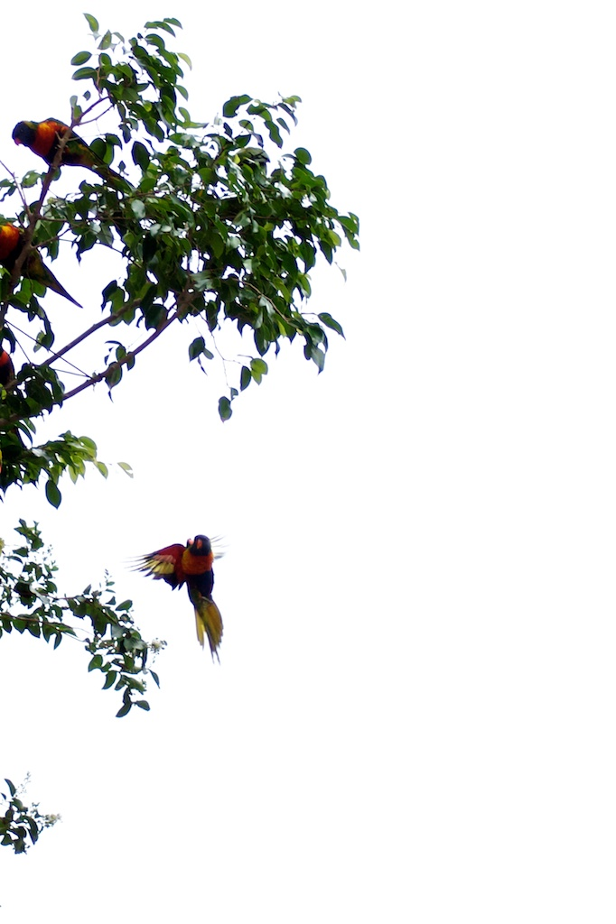 016: Another flying lorikeet