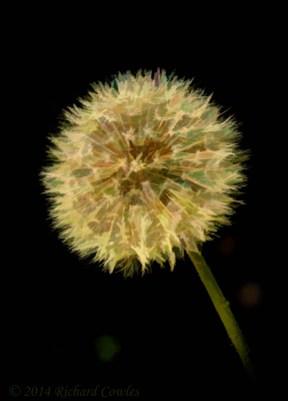 dandelion1.03