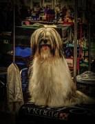 dogshow3.3
