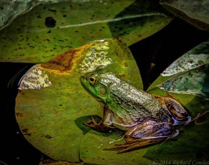 frog1.3