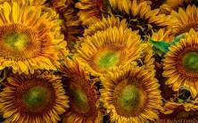 sunflowers1.3