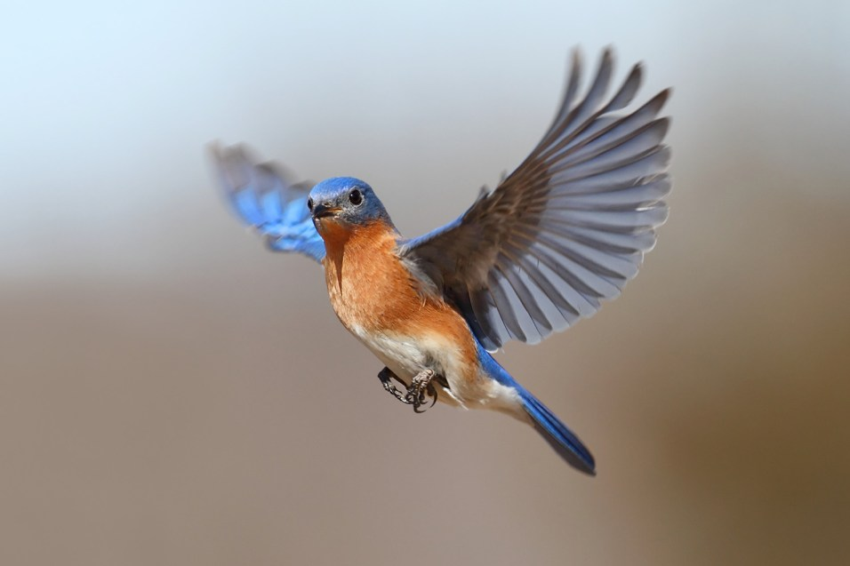 365 - Eastern Bluebird - 3