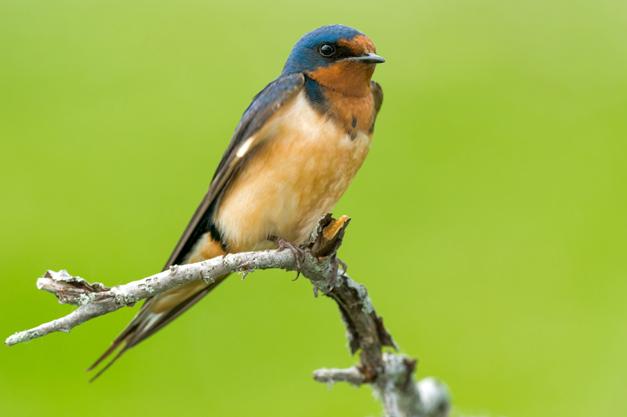 Birds of Barrington with Wendy Paulson:  Barn Swallow