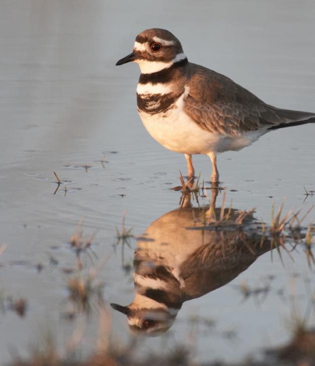Birds of Barrington with Wendy Paulson - The Call of the Killdeer