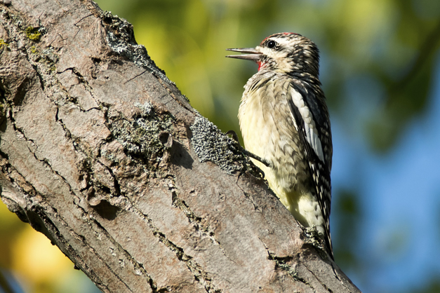 Birds of Barrington with Wendy Paulson - Yellow-bellied Sapsucker