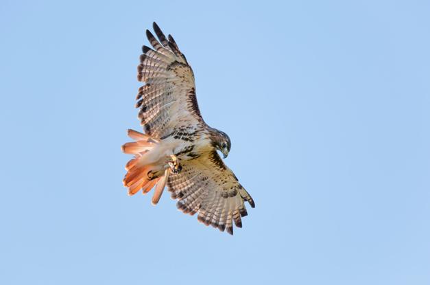 Wendy Paulson's Birds of Barrington: Red-tailed Hawk