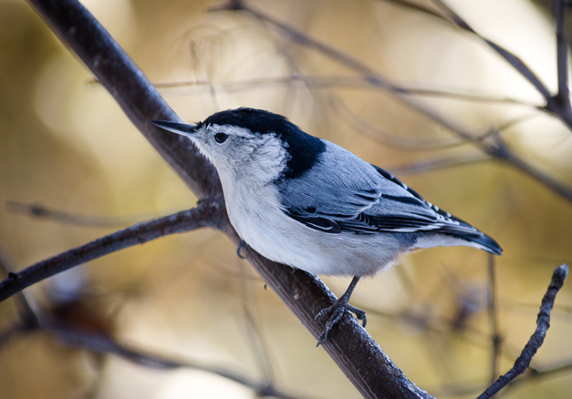 The White-breasted Nuthatch