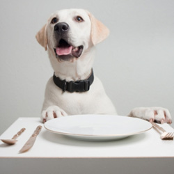 Puppy with manners patiently waiting for dinner.