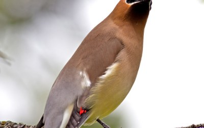 235. Birds of Barrington with Wendy Paulson: Cedar Waxwing