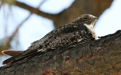 265. Birds of Barrington with Wendy Paulson: Common Nighthawk