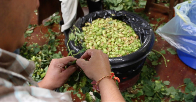 Post - Wild Onion Brewery Hops Harvest Otis IPA-3