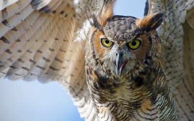 365. Birds of Barrington with Wendy Paulson: Great Horned Owl