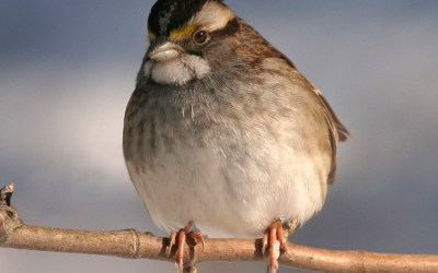 Birds of Barrington with Wendy Paulson: White-throated Sparrow