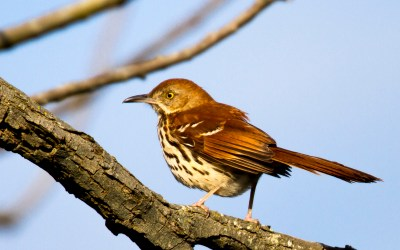 Birds of Barrington with Wendy Paulson: Brown Thrasher
