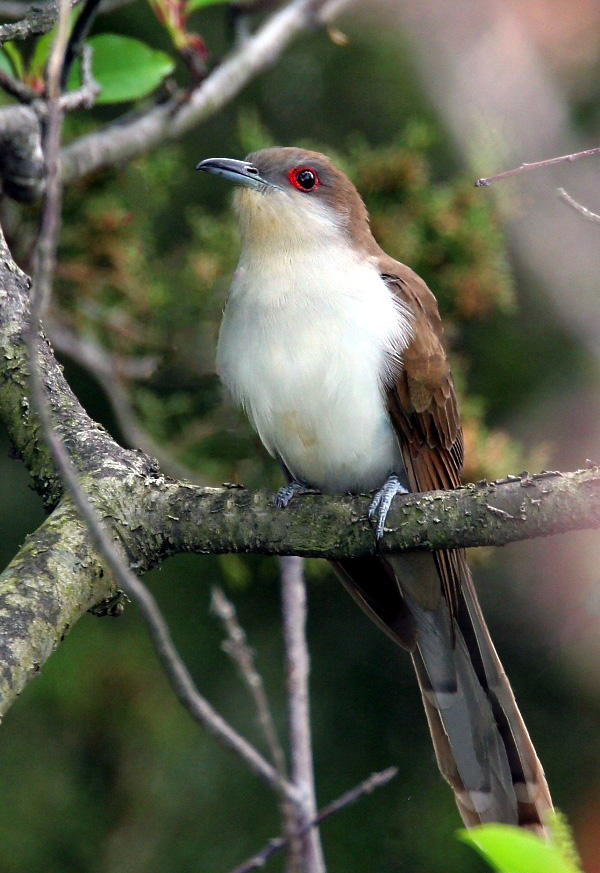 Black-billed Cuckoo - Photo by Wolfgang Wander