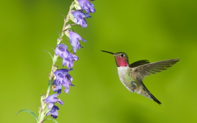 Birds of Barrington with Wendy Paulson: Ruby-throated Hummingbird