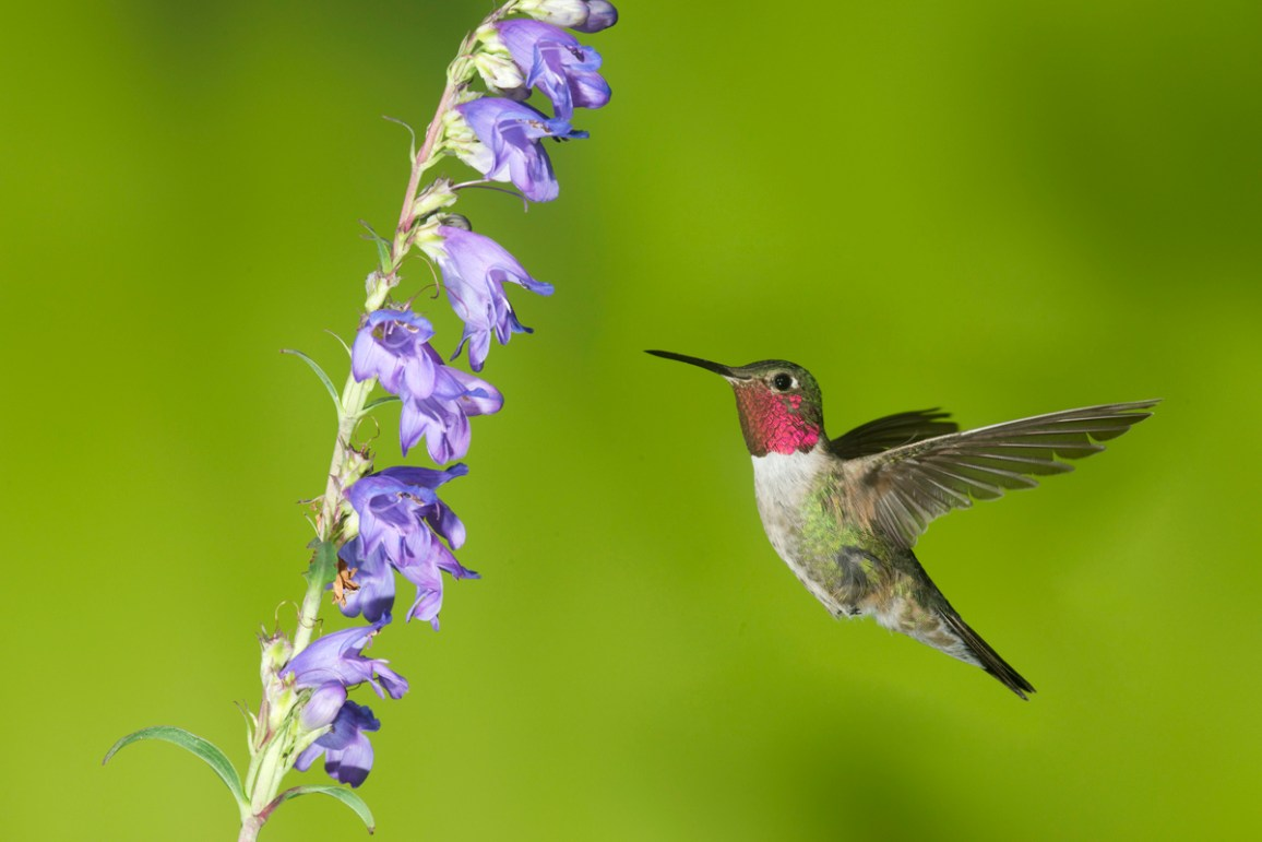 Birds of Barrington by Wendy Paulson: Ruby-throated Hummingbird