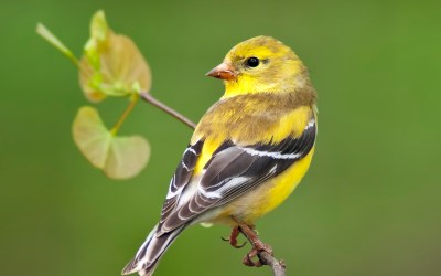 Birds of Barrington with Wendy Paulson: American Goldfinch