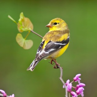 American Goldfinch (Carduelis tristis) perching on Redbud tree.