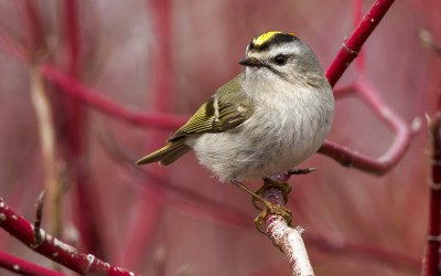 Birds of Barrington with Wendy Paulson | Golden-crowned Kinglet
