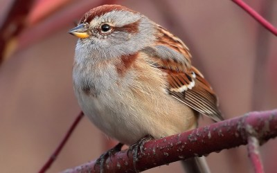 Birds of Barrington with Wendy Paulson | American Tree Sparrow