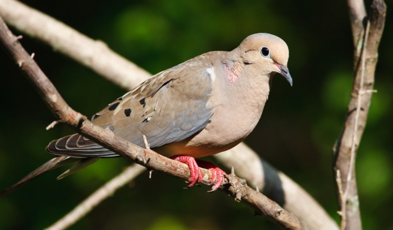 Birds of Barrington with Wendy Paulson | Of Music & Mourning Doves