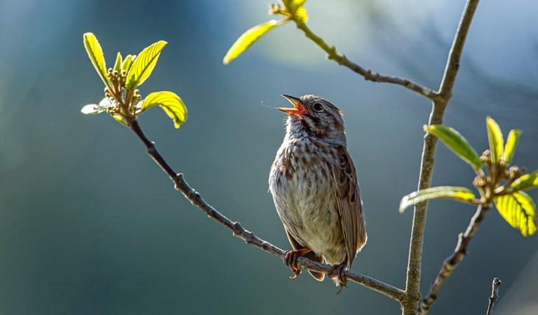 Birds of Barrington with Wendy Paulson | Song Sparrow