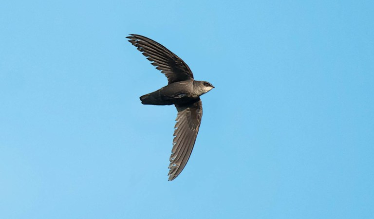 Birds of Barrington with Wendy Paulson | Chimney Swift
