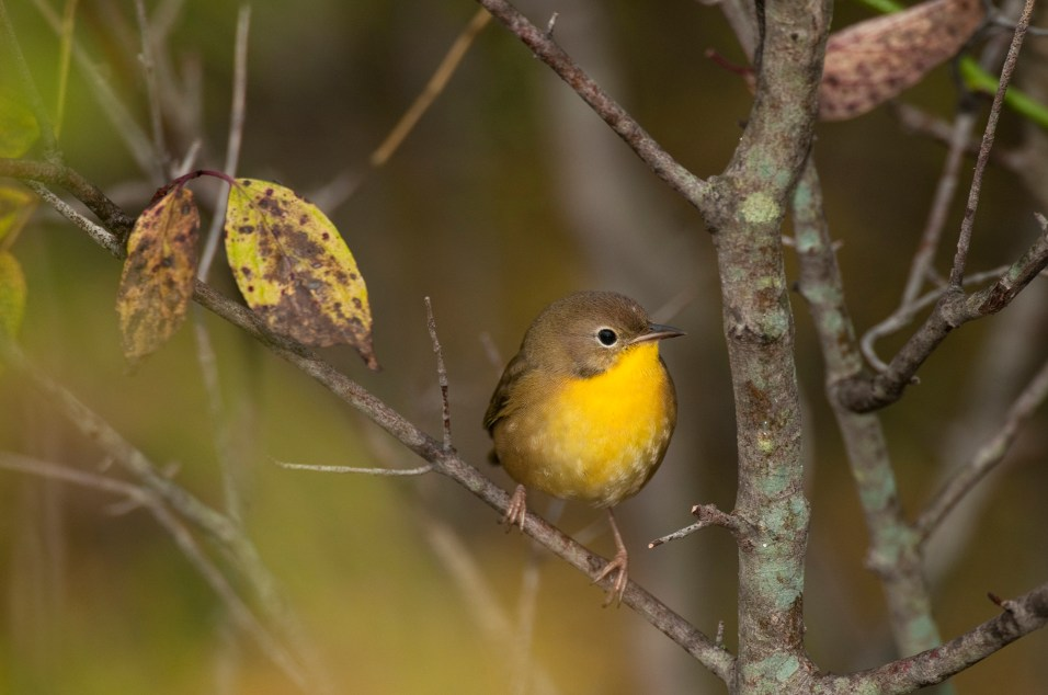 Common Yellowthroat Warbler--Female