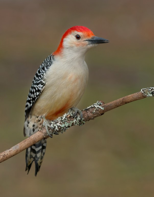 Birds of Barrington | Red-bellied Woodpecker