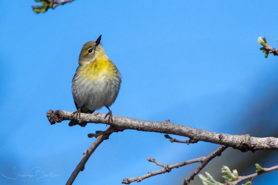 Birds of Barrington - Pine Warbler - Photo by Steve Barten