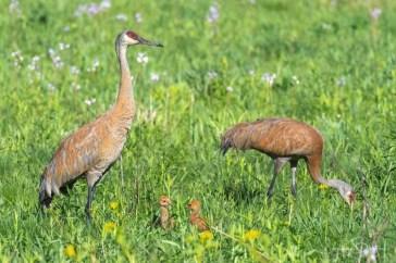 Steve Barten - Birds of Barrington - Sandhill Crane Family