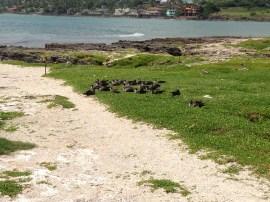 More Shearwater Birds