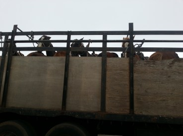 The horses arrived in a truck...very interesting.