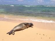 Hawaiian Monk Seal 6