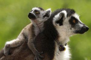 Με εξαφάνιση απειλούνται οι λεμούριοι της Μαδαγασκάρης