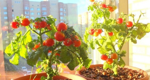 Как да отглеждаме чери домати в домашни условия?