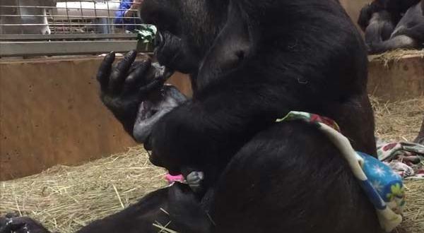 Майчина любов! Горила не може да спре да целува новороденото си бебе