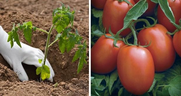 Трик в зеленчуковата градина за богата реколта от домати
