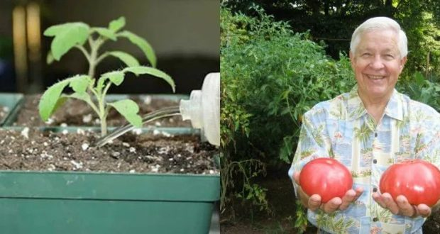 Тайната на дядо за добрите домати: Различен но наистина ефективен начин със смес с малко бира и малко
