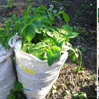 Отглеждане на картофи в чували - иновативен метод, с който дори нямате нужда от градина