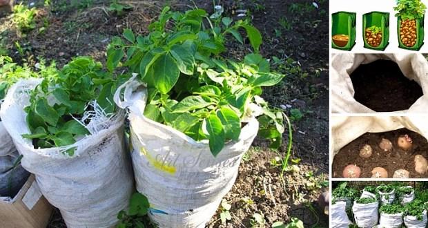Отглеждане на картофи в чували - иновативен метод