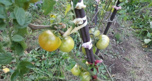 Защо е нужно да оголвате доматите? Безценни съвети от опитни градинари!