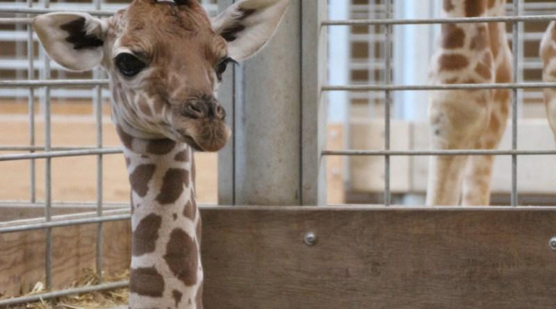 Den nyfødte girafkalv. Foto: Odense ZOO.