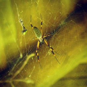 Golden Orb Spider at Rancho Margot