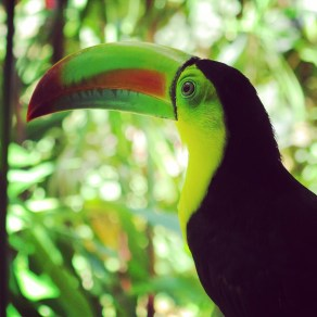 Toucan Sam in Puerto Viejo