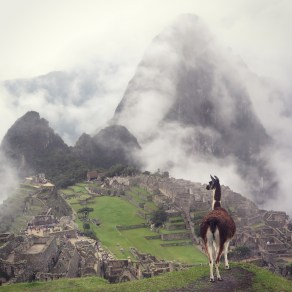 A llama looks over Machu Picchu